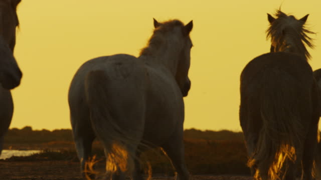 vídeos de stock e filmes b-roll de slomo cu pan with group of camargue horses trotting from camera on marsh in sunset with herders - 30 segundos ou mais