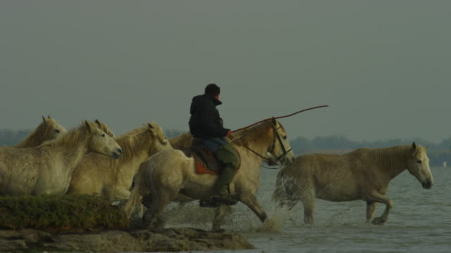 SLOMO PAN with group of Camargue horses walking in shallow sea with herder empty frame at start
