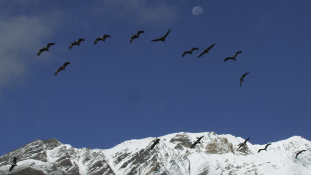 slomo la pan with group of demoiselle cranes flying to camera with snowy mountain and moon in background - snowcapped mountain stock videos & royalty-free footage