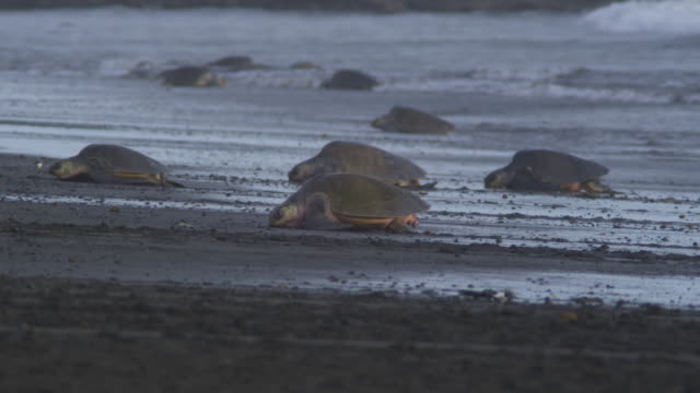 pan with group of female olive ridley turtle crawling up beach in profile - large group of animals stock videos and b-roll footage