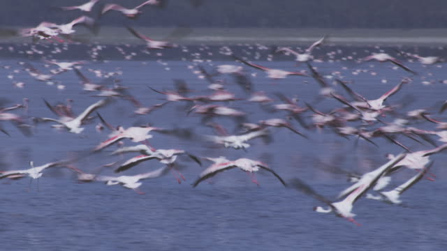 PAN with group of Flamingoes flying low over Lake Nakuru and landing in shallows