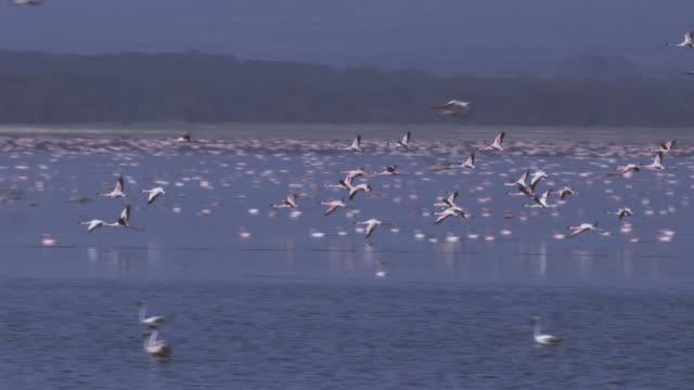 WS PAN with group of Flamingoes flying low over Lake Nakuru