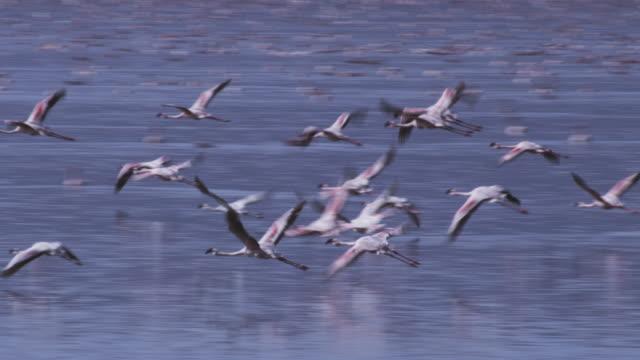 PAN with group of Flamingoes flying low over Lake Nakuru
