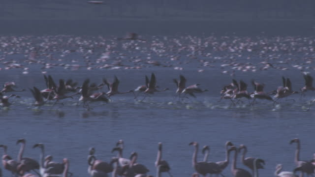 PAN with group of Flamingoes taking off from Lake Nakuru and flying over Hyena eating Flamingo carcase in shallows