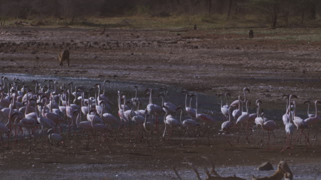pan with group of flamingoes walking nervously then flying off as olive baboons approach on shoreline - flamingo bird stock videos & royalty-free footage