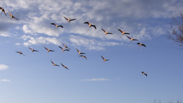 SLOMO LA PAN with group of Greater Flamingoes flying overhead with clear sky then trees in background