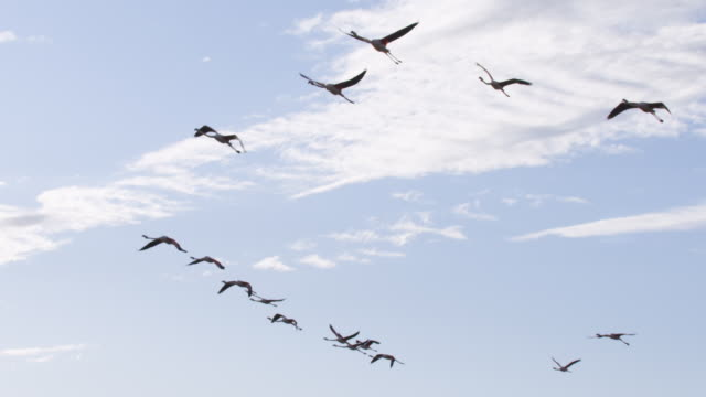 SLOMO LA PAN with group of Greater Flamingoes flying overhead with clear sky background