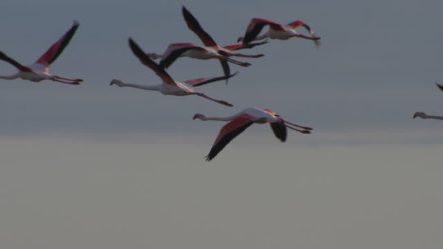 slomo pan with group of greater flamingoes flying with clear sky background - flamingo bird stock videos & royalty-free footage