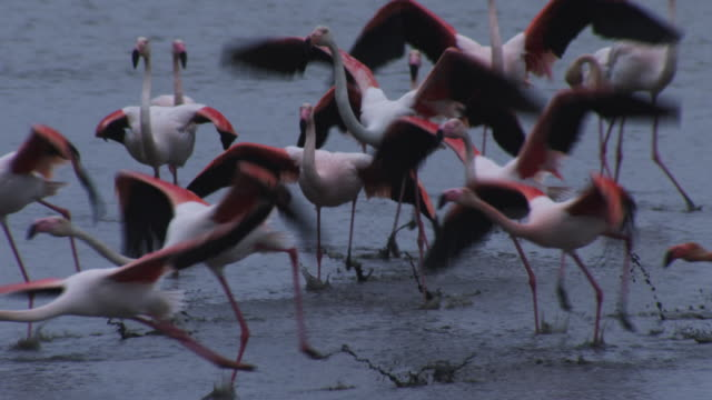 slomo pan with group of greater flamingoes running to take off and flying low over lake with reeds in foreground - 羽ばたく点の映像素材/bロール
