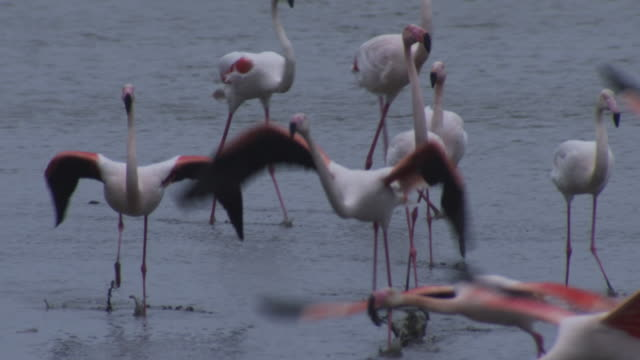 slomo with group of greater flamingoes running to take off and pan with one flying low over lake  - 羽ばたく点の映像素材/bロール