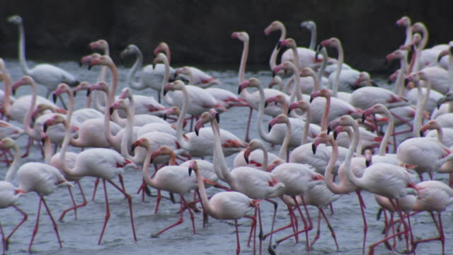 SLOMO PAN with group of Greater Flamingoes walking in lake