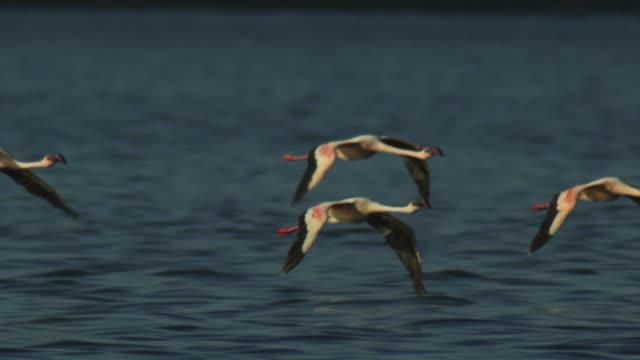 slomo pan with group of lesser flamingoes flying low over lake bogoria - 翼を広げる点の映像素材/bロール