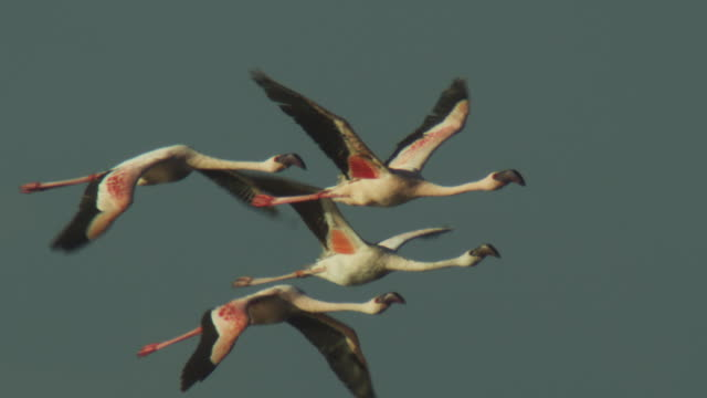 slomo pan with group of lesser flamingoes flying with clear sky background - vier tiere stock-videos und b-roll-filmmaterial