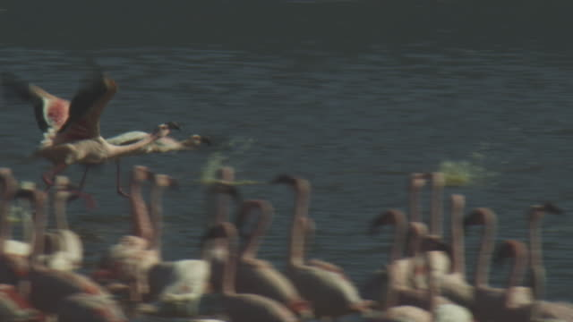 slomo pan with group of lesser flamingoes running and taking off - flamingo bird stock videos & royalty-free footage