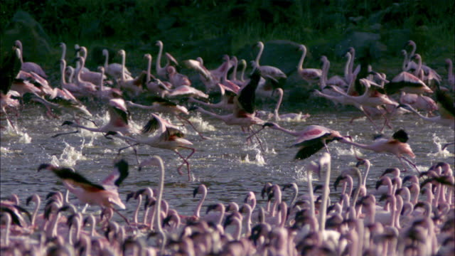 SLOMO PAN with group of Lesser Flamingoes running and taking off with flock in foreground