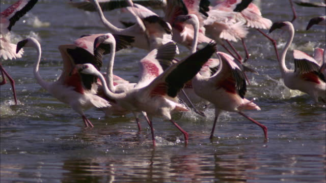 slomo ms pan with group of lesser flamingoes running for take off - flamingo bird stock videos & royalty-free footage