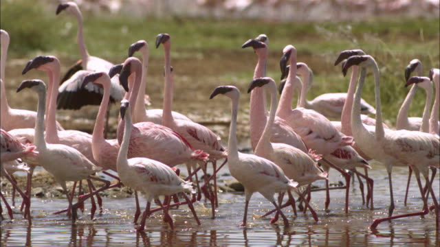 slomo pan with group of lesser flamingoes running in shallows - 40 sekunden oder länger stock-videos und b-roll-filmmaterial
