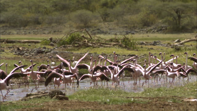 slomo pan with group of lesser flamingoes running in shallows - 羽ばたく点の映像素材/bロール
