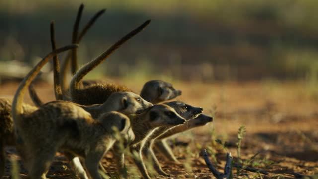 cu pan with group of meerkats backing away from threat with tails in the air - mellanstor djurflock bildbanksvideor och videomaterial från bakom kulisserna