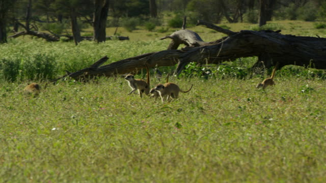 pan with group of meerkats running through grass with tails up - piccolo gruppo di animali video stock e b–roll