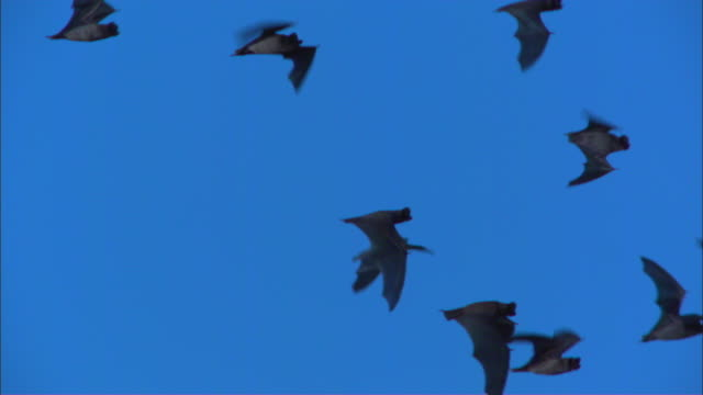 slomo pan with group of mexican free tailed bats flying with sky in background - appollaiarsi video stock e b–roll