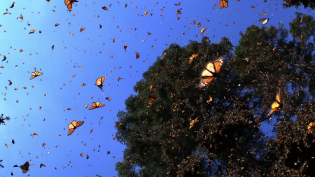slomo la with group of monarch butterflies flying in forest clearing - large group of animals stock videos & royalty-free footage