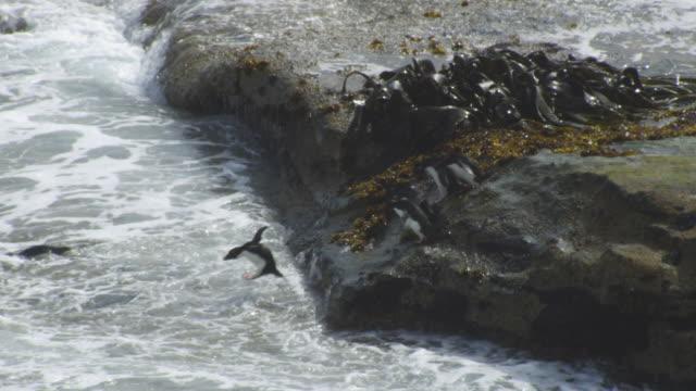vídeos de stock, filmes e b-roll de pan with group of rockhopper penguins diving into the sea in profile - ilhas do oceano atlântico