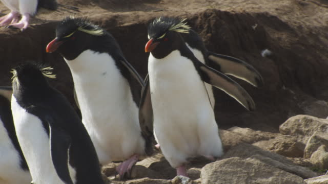 slomo cu pan with group of rockhopper penguins hopping down bank to camera onto rocks - mittelgroße tiergruppe stock-videos und b-roll-filmmaterial