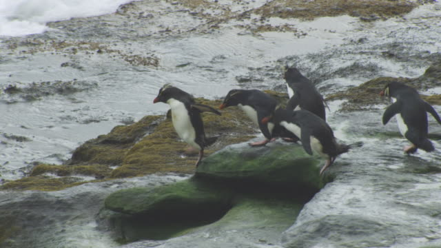 vídeos y material grabado en eventos de stock de pan with group of rockhopper penguins hopping down rocks and into heavy surf - cinco animales