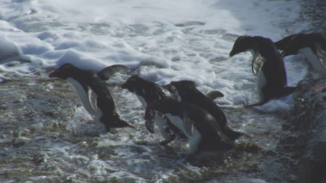 ms pan with group of rockhopper penguins hopping down rocks and into heavy surf - flightless bird stock videos & royalty-free footage