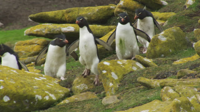 vídeos y material grabado en eventos de stock de slomo pan with group of rockhopper penguins hopping down rocks towards camera - cinco animales