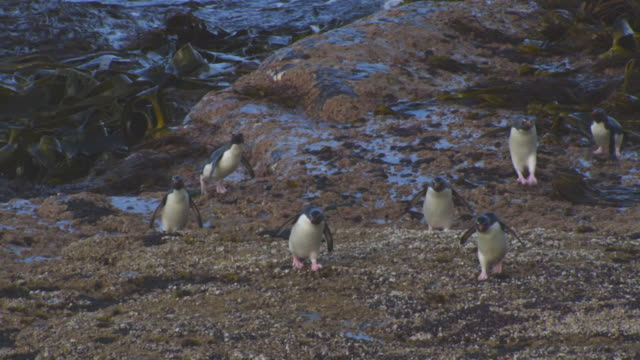 ha pan with group of rockhopper penguins hopping on rocks on shoreline and joining larger group - flightless bird stock videos & royalty-free footage