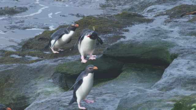 slomo pan with group of rockhopper penguins hopping over rocks and one pauses to shake dry - mittelgroße tiergruppe stock-videos und b-roll-filmmaterial