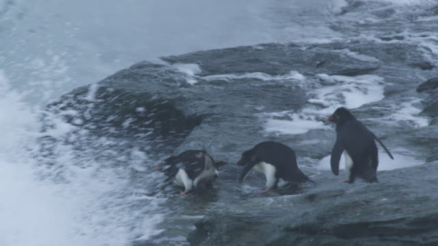 vídeos y material grabado en eventos de stock de slomo pan with group of rockhopper penguins hopping over rocks then submerged by huge wave - cinco animales