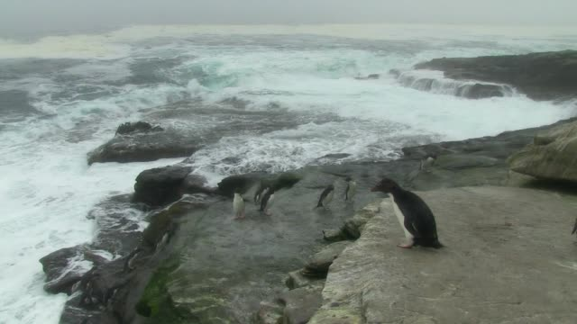 ha pan with group of rockhopper penguins landing in stormy sea and hopping up rocks towards camera - 1 minute or greater stock videos & royalty-free footage
