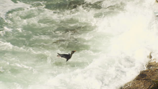 pan with group of rockhopper penguins struggling to land in heavy surf and hopping up rock - cinque animali video stock e b–roll