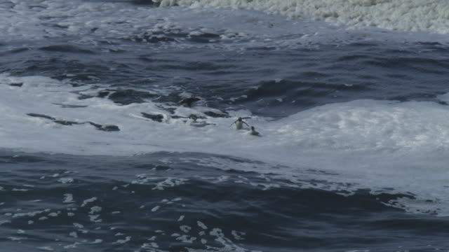 pan with group of rockhopper penguins swimming in profile and porpoising through waves - gruppo medio di animali video stock e b–roll