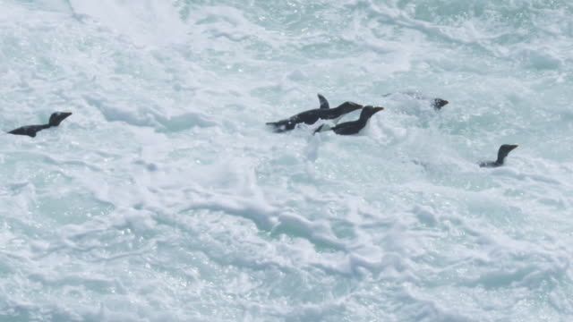 slomo pan with group of rockhopper penguins swimming in surf and landing on rocks then hopping away - mittelgroße tiergruppe stock-videos und b-roll-filmmaterial