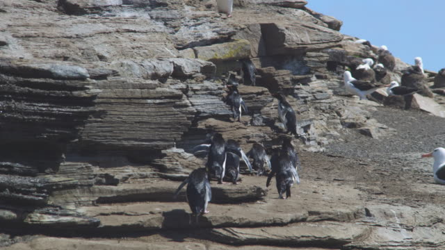 pan with group of rockhopper penguins waddling from camera across shoreline rocks - waddling stock videos & royalty-free footage