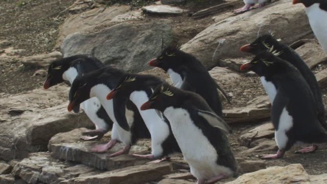 vídeos de stock, filmes e b-roll de ms pan with group of rockhopper penguins walking and hopping down rocks with bay in background - ilhas do oceano atlântico