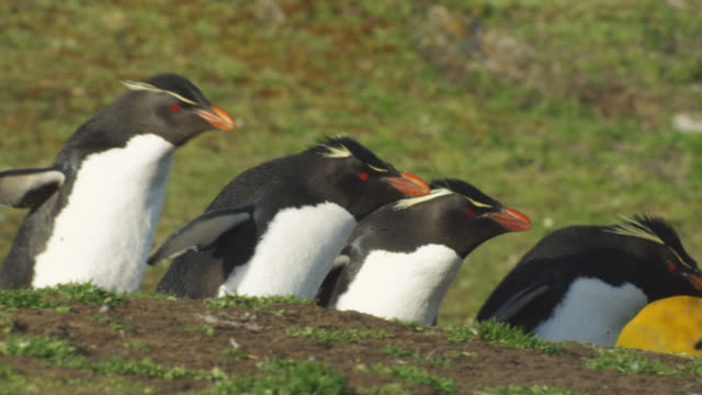 vídeos y material grabado en eventos de stock de cu pan with group of rockhopper penguins walking in profile on grass by colony - cinco animales