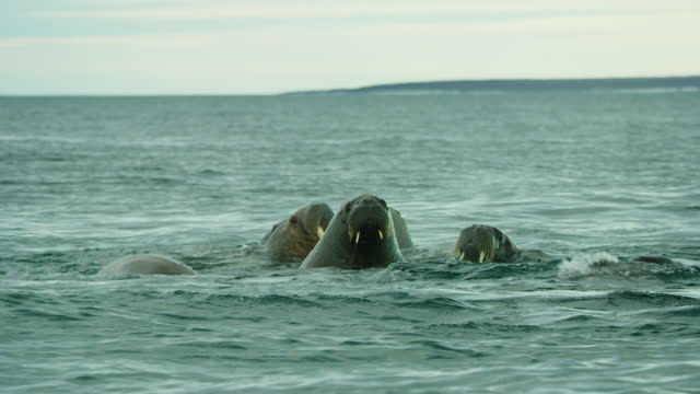 pan with group of walrus surfacing to breathe close to camera - surfacing stock videos & royalty-free footage