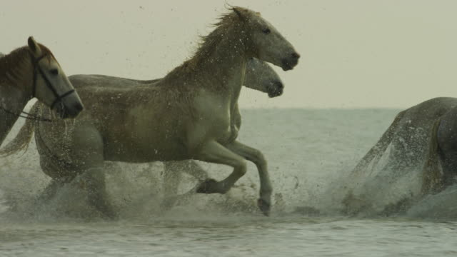 vídeos y material grabado en eventos de stock de pan with group of white camargue horses galloping in profile in shallow sea with herders - fauna silvestre