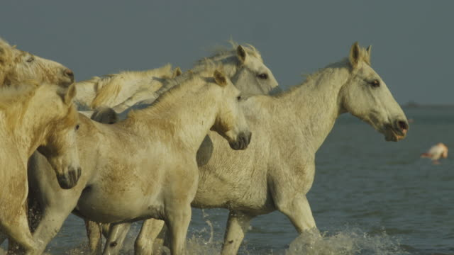 SLOMO PAN with group of white Camargue horses walking from camera through shallow sea then turn and gallop to camera with herder