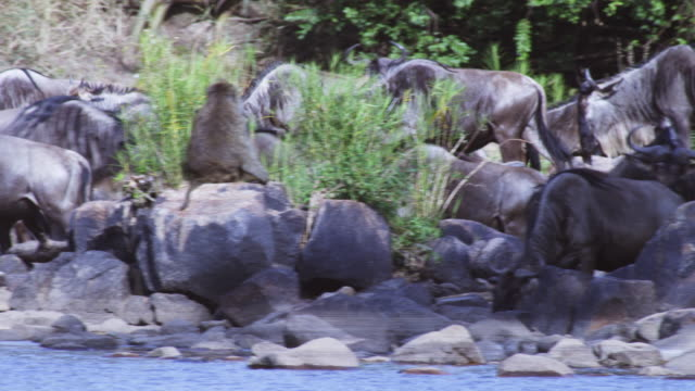 PAN with group of Wildebeest walking along river bank and looking into river