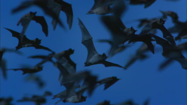 SLOMO CU PAN with huge flock of Mexican Free Tailed Bats flying with sky in background