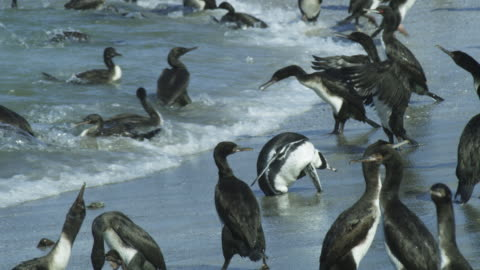 pan with humboldt penguin amongst massed guanay cormorants on beach - south america stock videos & royalty-free footage
