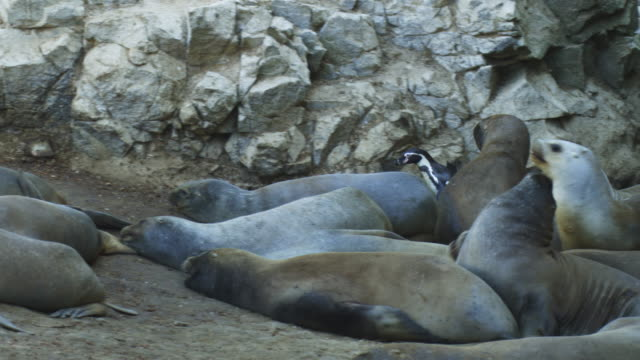 ms pan with humboldt penguin running nervously past south american sealions - sea lion stock videos & royalty-free footage