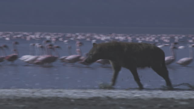 ms pan with hyena running along shoreline with flamingo flock in background  - brown stock videos & royalty-free footage