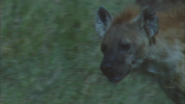 CU PAN with Hyena running through long grass